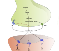 Synapse_noradrenergique1